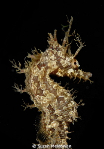 ornate frilled seahorse by Suzan Meldonian 